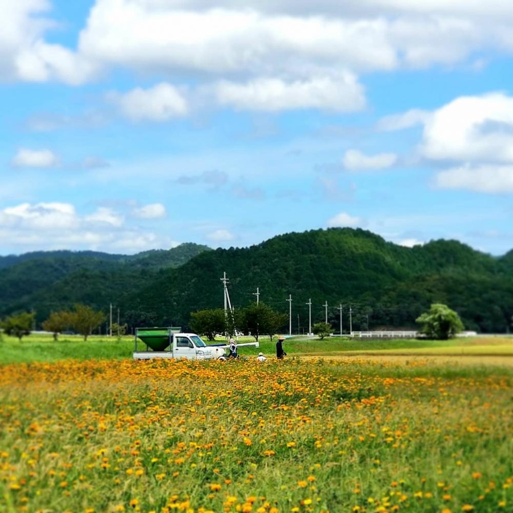 亀岡の花畑