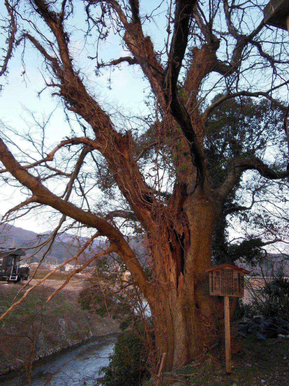 旧亀岡商工会館には巨木もあります。